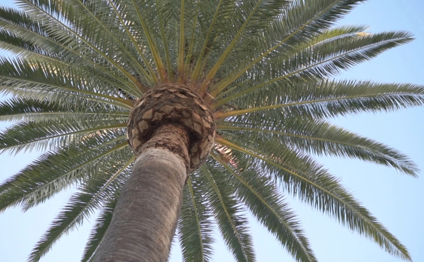 Free Stock Footage – Palm Tree – Royalty Free
